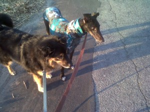 Jabba and Beyonce's first walk together in Winston-Salem, NC.