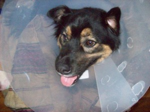 """Yes-he may be wearing the """"cone of shame"""", but have you ever seen such a ridiculously happy dog???"""