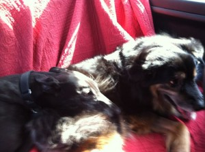 Beyonce curling up with Jabba-bear on the way back from Horizon's Dog Park