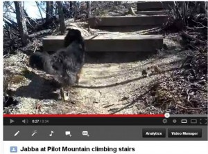 Click on this image to view a short video of Jabba climbing stairs at Pilot Mountain.