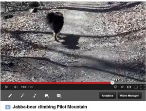 Click on the image to view a video of Jabba-bear climbing Pilot Mountain.