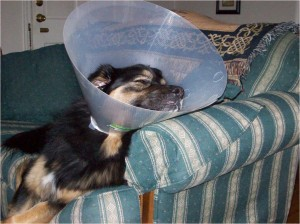 Jabba-bear wearing cone, alseep on his couch
